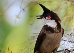 Red Whiskered Bulbul (balsoumyabal) Tags: bulbul bird nature beauty canon palakkad