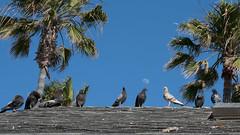 Lunar Meetup (tourtrophy) Tags: pigeons birds moon lunar palmtrees lagunabeach sonya7rii sonysonnartfe55mmf18zeisslens