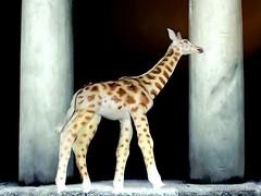 Girafe - Giraffe (6) (artiste24artiste241) Tags: girafe safari jungle sauvage zoo savane parc réserve mammifère