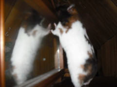 Callie and her reflection (AlohiMauie) Tags: pet brown white black cute girl beautiful animal female mammal rodent sweet adorable ham gone pip calico hamster callie hammy hamham missed syrian hammie