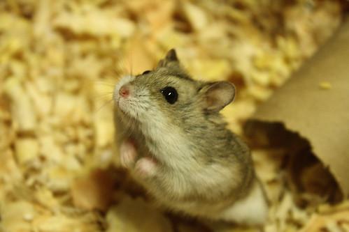 Panshita, la hamster