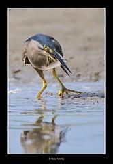 Happy Heron (Ross_M) Tags: places australianbirds ardeidae ciconiiformes striatedheron butoridesstriata nudgeebeach nikond300