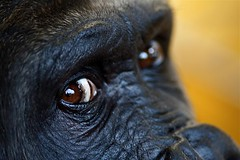 Gorilla (Bucky O'Hare) Tags: portrait macro eye up animal canon xt zoo monkey eyes close gorilla budapest 100mm tokina canon350d ape gorrila canonxt primate f28 budapestzoo