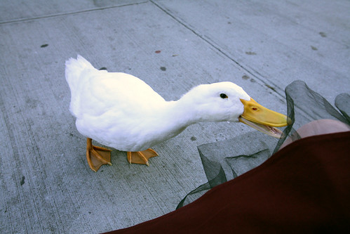 Our neighbor had a duck named Mamasita