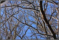 Net of Twigs (Oscar von Bonsdorff) Tags: schnee snow espoo suomi finland finnland nieve sneeuw bluesky neve neige lumi  sn kar jorvi jrvenp 2010 sne nieg uusimaa nyland  grndal  esbo snh petas blhimmel  sininentaivas trsknda sntcktagrenar treecoveredwithsnow branchescoveredwithsnow january2010 vosplusbellesphotos jorv winterphotograph oscarvonbonsdorff januari2010 branchcoveredwithsnow cityofespoo twigscoveredwithsnow tammikuu2010 snowphotograph sntckttrd grenartcktaavsn lumipeitettyjoksia