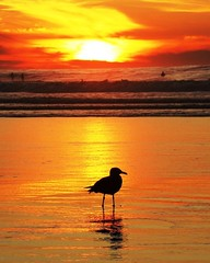 California Light (moonjazz) Tags: california perfect gull wave sunset yellow gold color silhouette horizon light sun peace calm tide low kiss bliss water seagull solo sandiego beach photography best flckr moonjazz ocean photograph bird one