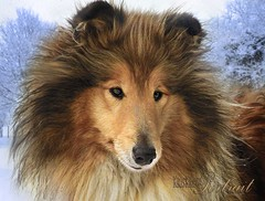 portrait of a best friend (Kris Kros) Tags: winter portrait dog snow cold art digital bravo collie kris sue rough breeze lassie kkg kros kriskros specialtouch lilychip edithsdog kkgallery