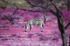 Once Upon a Time in Kenya - 7 - (Ben Heine) Tags: africa camera flowers trees light wallpaper food art nature colors clouds composition forest fleurs photoshop season poster lens landscape photography lights freedom photo spring dof purple cloudy kenya pov earth lumire modernart space air horizon perspective creative reserve atmosphere manipulation oxygen eat libert montage zebra bloom mauve wildanimal conceptual breathe parc contrasts emptiness vide sauvage cs4 luminosity vrijheid savana zbre d70nikon savane fleurir benheine infotheartisterycom