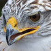 Ferruginous Hawk_1986