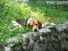 just the place for my nose (Yugan Dali) Tags: beagle taiwan   wulai yumin ulay
