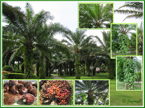 Collage of oil palm trees and fruits, seen at Felda Residence Hot Springs (Sungai Klah Hot Springs Park)