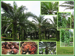 Elaeis guineensis (Oil Palm)