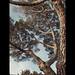 Stone Pine 1 vivid