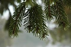 Pine Tree Bokeh