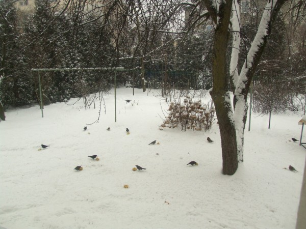 Blackbirds in our garden
