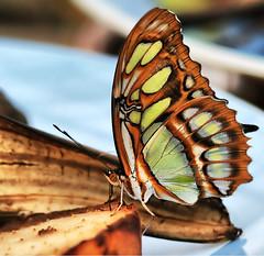 Banana Lunch (` Toshio ') Tags: macro green eye butterfly bug insect lunch pattern close bokeh wing maryland banana sprint antenna wheaton brooksidegardens butterflyexhibit toshio wingsoffancy