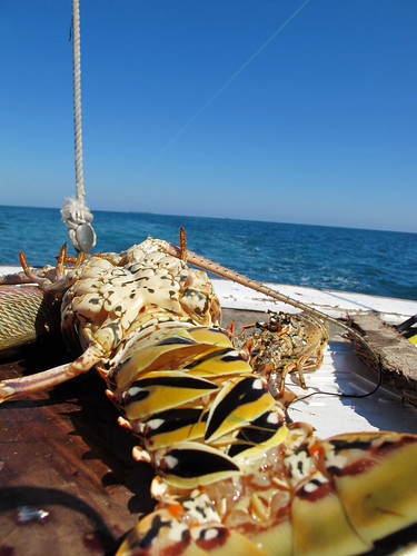 Lobster Sunbathing in Belize