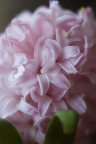370:1000 Hyacinth - day four