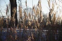 Im Gegenlicht leuchtende Fruchtstnde des Schilfrohrs (Phragmites australis); Lingen, Dieksee (Chironius) Tags: schnee winter snow ice grass germany deutschland erba alemania grasses gras eis allemagne poaceae germania schilf herbe gegenlicht reet emsland lingen grser niedersachsen  gramines dieksee phragmitesaustralis schilfrohr  poales   gauerbach commeliniden ssgrser ssgrasartige laxten gauerbachsee