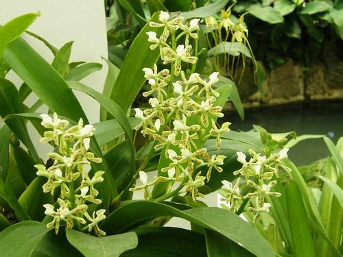 orquidea 33