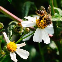 Bee and Flowers (austinliula) Tags: flowers flower macro nikon snap bee 花 高雄 蜜蜂 微距 速寫 d90 55200mmvr