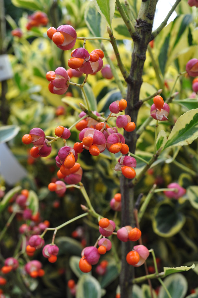 Euonymus japonicus 'Chollipo'