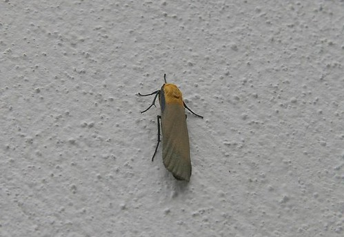 Four-spotted Footman (Lithosia quadra)