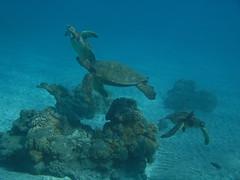 turtles, turtles, turtles (bluewavechris) Tags: ocean life blue sea brown green water animal coral canon hawaii sand marine underwater turtle reptile shell diving maui snorkeling freediving reef creature flipper sights g7 wpdc11