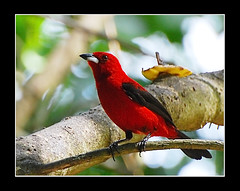 Ti-sangue macho (Ramphocelus bresilius) (Hilton Filho) Tags: red bird pssaro vermelho ave reino birdwatcher tisangue ramphocelusbresilius braziliantanager incrvel thraupidae animal o excapture