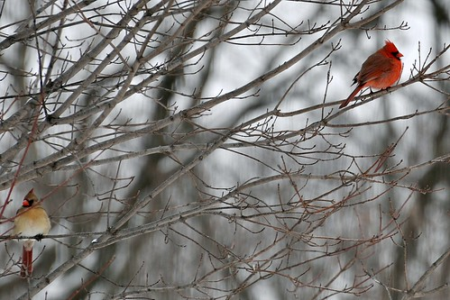 Male & Female Northern Cardinal