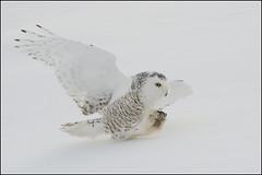 Owl (Snowy) - 0606 (Earl Reinink) Tags: winter flight raptor owl snowyowl snowyowlinflight earlreinink wwwearlreininkcom wwwipaintca