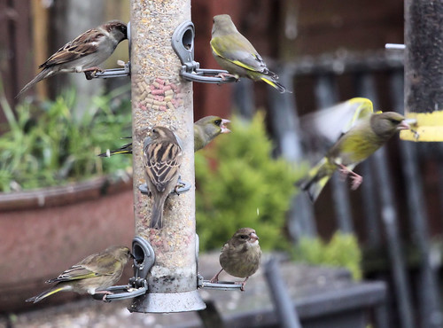 House Sparrows and Greenfinches