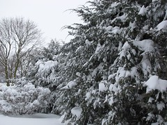 Big Snow Backyard Hemlock Hedge 5 (Mr.J.Martin) Tags: winter snow storm weather snowdrift snowstorm evergreens lancastercounty wintersnow blowingsnow badweather snowday snowcovered winterstorm snowedin lititz winterweather fallingsnow heavysnow hemlocks driftingsnow warwicktownship