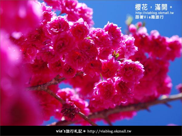 【九族櫻花季】櫻花滿開!最浪漫的九族文化村櫻花季21