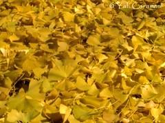 Hojas caidas (Yali Carames Photography) Tags: autumn trees atlanta usa sun sol day arboles air dia otoo energia dryleaves airelibre hojassecas energyusa