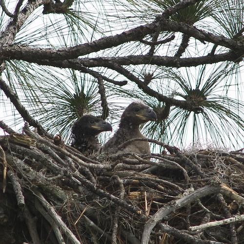 Eaglets #5