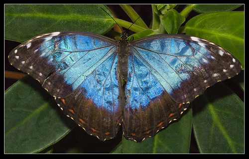 Blue Morpho butterfly (Morpho peleides) wings open