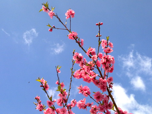Pink Blossoms & Blue Sky
