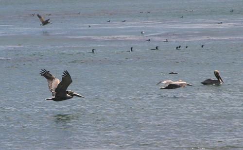 pelicans 202