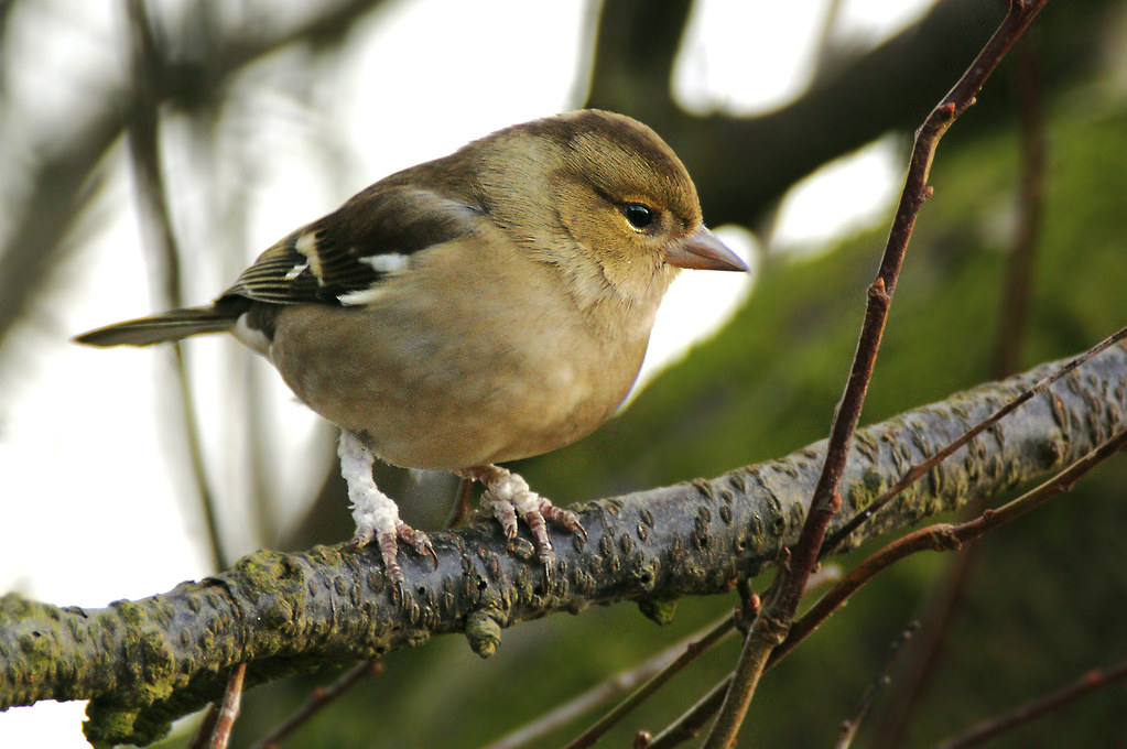 Chaffinch with viral infection on legs