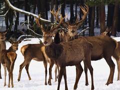Pride of Stags in the snow (Andy von der Wurm) Tags: park schnee winter snow nature animal germany deutschland wildlife deer alemania nrw allemagne tier rehe wildpark gangelt specanimal hobbyphotograph wildfreigehege kreisheinsberg mindergangelt hirschrudel prideofstags andreasfucke