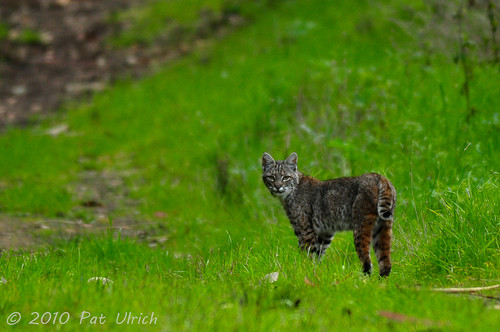 First bobcat encounter (2of2)