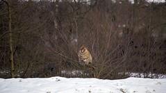 Trentham Monkey Forest (BinaryApe) Tags: uk snow animal monkey stokeontrent monkeys staffordshire trentham primates macaque monkeyforest barbarymacaque ef70300mmf456isusm