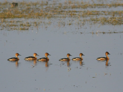 Fulvous Whistling-Ducks 20100215