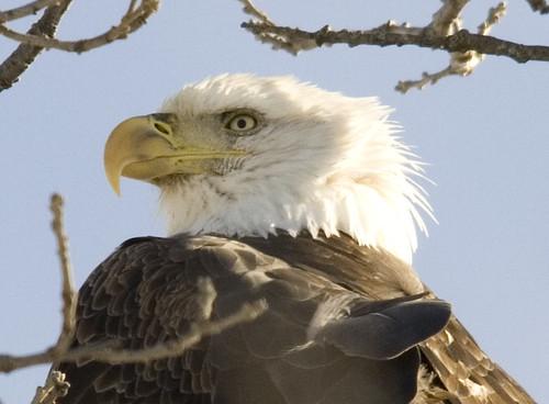bald eagle_15