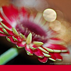 only in my dreams (Smme eeZe) Tags: light red white flower macro nature beauty closeup gold drops bokeh gerbera dew dontstop missingyou onlyinmydreams sommerbreeze