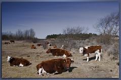 Koeien Marelberg-1458 (Daytona1961 http://awd-daytona.blogspot.com/) Tags: bomen boom bos duinen awd koe koeien vos duin zwaan bossen zwanen vossen amsterdamsewaterleidingduinen