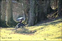 Kangourou en action . (Barnie76@ ,) Tags: nature action panasonic animaux pard kangourou tz7 parcdeclres