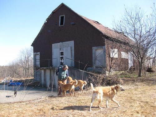 dogs, barn, Judy