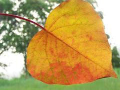 Omalanthus populifolius-9 (YAZMDG (15,000 images)) Tags: autumn trees red green leaves forest automne australia nsw feuilles hinterland omalanthus populifolius nswrfp yazminamicheledegaye northernriversspecies